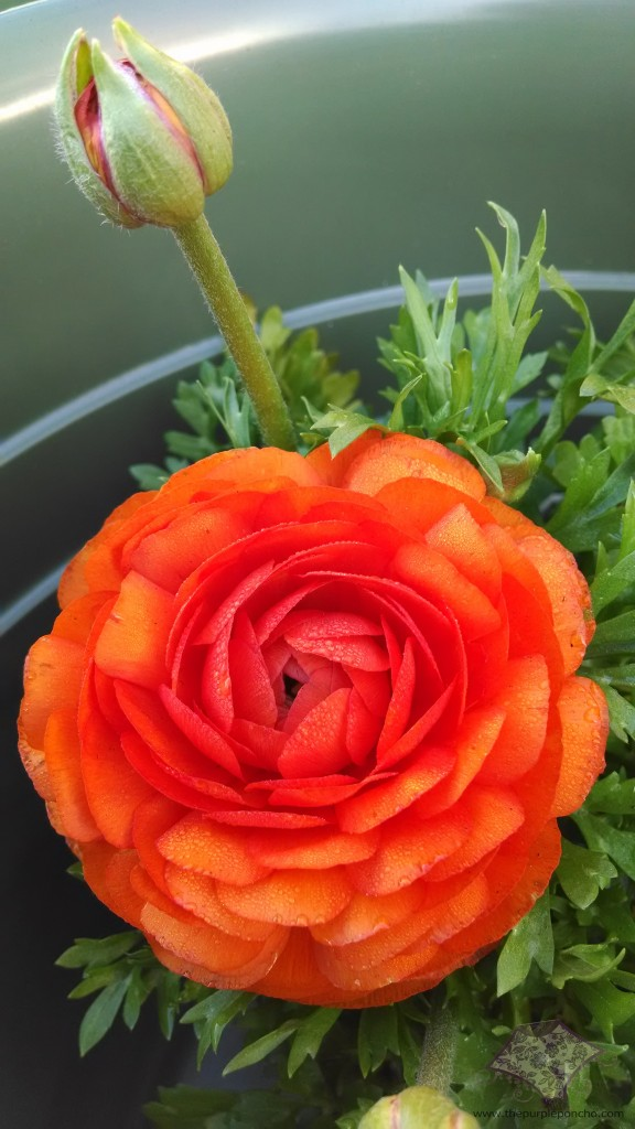 Beautiful Ranunculus!