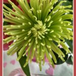 Orchid Pink Thread with Green Spider Mum by The Purple Poncho - Copy